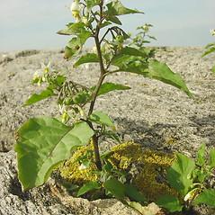 Plant form: Solanum nigrum. ~ By Glen Mittelhauser. ~ Copyright © 2021 Glen Mittelhauser. ~ www.mainenaturalhistory.org