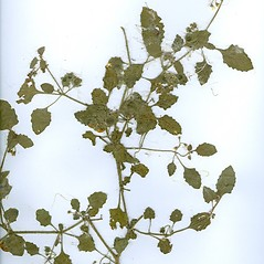 Plant form: Solanum physalifolium. ~ By Arthur Haines. ~ Copyright © 2020. ~ arthurhaines[at]wildblue.net