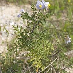 Plant form: Solanum sisymbriifolium. ~ By John Gwaltney. ~ Copyright © 2020 John Gwaltney. ~ southeasternflora.com ~ Southeastern Flora - www.southeasternflora.com/