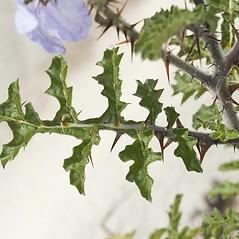 Leaves: Solanum sisymbriifolium. ~ By John Gwaltney. ~ Copyright © 2020 John Gwaltney. ~ southeasternflora.com ~ Southeastern Flora - www.southeasternflora.com/
