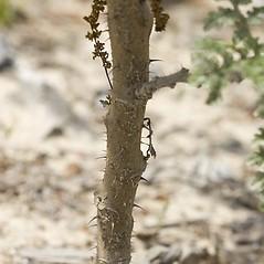Stems: Solanum sisymbriifolium. ~ By John Gwaltney. ~ Copyright © 2020 John Gwaltney. ~ southeasternflora.com ~ Southeastern Flora - www.southeasternflora.com/
