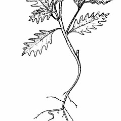 Stems: Solanum triflorum. ~ By Southern Illinois University Press. ~ Copyright © 2019 Southern Illinois University Press. ~ Requests for image use not currently accepted by copyright holder ~ Mohlenbrock, Robert H. 1981. The Illustrated Flora of Illinois, Flowering Plants, magnolias to pitcher plants. Southern Illinois U. Press, Carbondale and Edwardsville, IL. 288pp.
