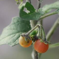 Fruits: Solanum villosum. ~ By Ernst Horak. ~ Copyright © 2021 Ernst Horak. ~ BOTANIK IM BILD http:/flora.nhm-wien.ac.at ~ Wien Natural History Museum, Vienna, Austria