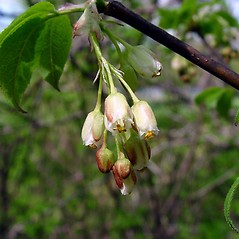Flowers: Staphylea trifolia. ~ By Arthur Haines. ~ Copyright © 2021. ~ arthurhaines[at]wildblue.net