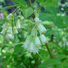 Flowers: Staphylea trifolia. ~ By Arthur Haines. ~ Copyright © 2020. ~ arthurhaines[at]wildblue.net