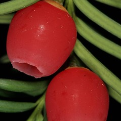 Fruits: Taxus baccata. ~ By Robert Vid_ki. ~ Copyright © 2021 CC BY-NC 3.0. ~  ~ Bugwood - www.bugwood.org/