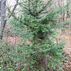 Plant form: Taxus baccata. ~ By Robert Vid_ki. ~ Copyright © 2019 CC BY-NC 3.0. ~  ~ Bugwood - www.bugwood.org/