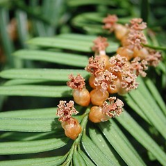 Flowers: Taxus canadensis. ~ By Robbin Moran. ~ Copyright © 2021 Robbin Moran. ~ rmoran[at]nybg.org ~ Plant Systematics - www.plantsystematics.org/