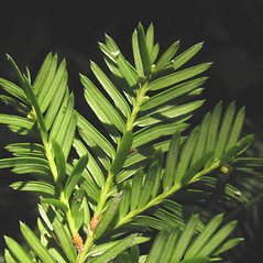 Leaves: Taxus canadensis. ~ By Marilee Lovit. ~ Copyright © 2021 Marilee Lovit. ~ lovitm[at]gmail.com