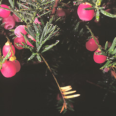 Fruits: Taxus canadensis. ~ By Frank Bramley. ~ Copyright © 2021 New England Wild Flower Society. ~ Image Request, images[at]newenglandwild.org