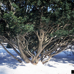Plant form: Taxus cuspidata. ~ By Richard Webb. ~ Copyright © 2020 CC BY-NC 3.0. ~  ~ Bugwood - www.bugwood.org/