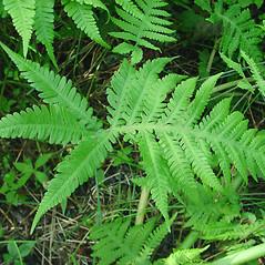 Leaf: Phegopteris connectilis. ~ By Glen Mittelhauser. ~ Copyright © 2020 Glen Mittelhauser. ~ www.mainenaturalhistory.org