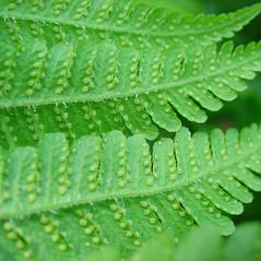 Sori: Phegopteris connectilis. ~ By Glen Mittelhauser. ~ Copyright © 2020 Glen Mittelhauser. ~ www.mainenaturalhistory.org