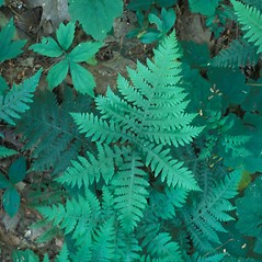 Plant form: Phegopteris hexagonoptera. ~ By Cheryl Lowe. ~ Copyright © 2020 New England Wild Flower Society. ~ Image Request, images[at]newenglandwild.org