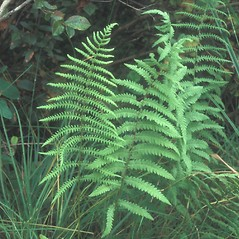 Plant form: Thelypteris palustris. ~ By Cheryl Lowe. ~ Copyright © 2020 New England Wild Flower Society. ~ Image Request, images[at]newenglandwild.org
