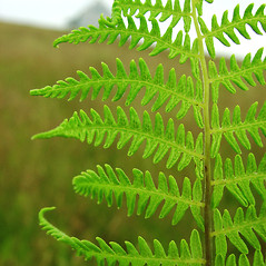 Detail of leaf and/or divisions: Thelypteris palustris. ~ By Glen Mittelhauser. ~ Copyright © 2020 Glen Mittelhauser. ~ www.mainenaturalhistory.org