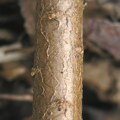 Bark: Daphne cneorum. ~ By Bruce Patterson. ~ Copyright © 2020 Bruce Patterson. ~ foxpatterson[at]comcast.net