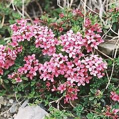 Plant form: Daphne cneorum. ~ By John Crellin. ~ Copyright © 2019 © J.R. Crellin. ~ Floralimages www.floralimages.co.uk ~ Floral Images - www.floralimages.co.uk