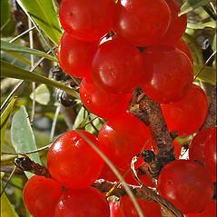 Fruits: Daphne mezereum. ~ By Amadej Trnkoczy. ~ Copyright © 2021 Amadej Trnkoczy. ~ amadej.trnkoczy[at]siol.net ~ CalPhotos - calphotos.berkeley.edu/flora/