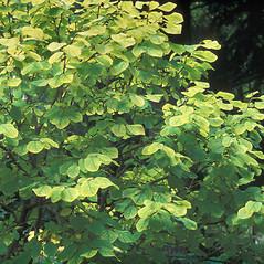 Plant form: Dirca palustris. ~ By William Cullina. ~ Copyright © 2020 William Cullina. ~ bill[at]williamcullina.com
