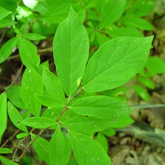 Leaves: Dirca palustris. ~ By Arthur Haines. ~ Copyright © 2021. ~ arthurhaines[at]wildblue.net