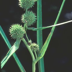Fruits: Sparganium americanum. ~ By Albert Bussewitz. ~ Copyright © 2020 New England Wild Flower Society. ~ Image Request, images[at]newenglandwild.org