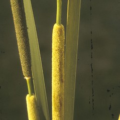 Flowers and fruits: Typha angustifolia. ~ By Albert Bussewitz. ~ Copyright © 2021 New England Wild Flower Society. ~ Image Request, images[at]newenglandwild.org