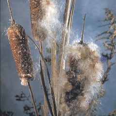 Flowers and fruits: Typha latifolia. ~ By Albert Bussewitz. ~ Copyright © 2020 New England Wild Flower Society. ~ Image Request, images[at]newenglandwild.org
