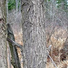 Bark: Ulmus americana. ~ By Arthur Haines. ~ Copyright © 2021. ~ arthurhaines[at]wildblue.net