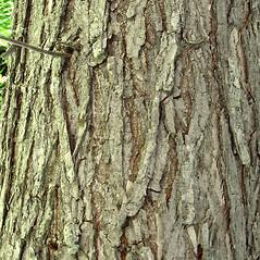 Bark: Ulmus americana. ~ By Glen Mittelhauser. ~ Copyright © 2020 Glen Mittelhauser. ~ www.mainenaturalhistory.org