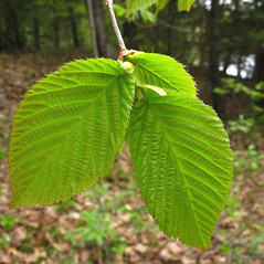 Leaves: Ulmus americana. ~ By Donna Kausen. ~ Copyright © 2020 Donna Kausen. ~ 33 Bears Den, Addison, ME 04606