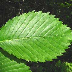 Leaves: Ulmus americana. ~ By Donna Kausen. ~ Copyright © 2021 Donna Kausen. ~ 33 Bears Den, Addison, ME 04606