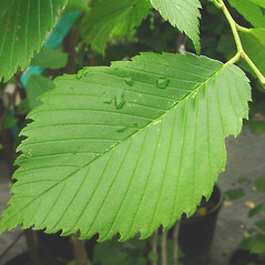 Leaves: Ulmus americana. ~ By Glen Mittelhauser. ~ Copyright © 2020 Glen Mittelhauser. ~ www.mainenaturalhistory.org