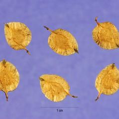 Fruits: Ulmus parvifolia. ~ By Steve Hurst. ~  Public Domain. ~  ~ USDA-NRCS Plants Database - plants.usda.gov/java/