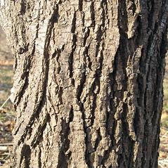 Bark: Ulmus procera. ~ By Bruce Patterson. ~ Copyright © 2020 Bruce Patterson. ~ foxpatterson[at]comcast.net