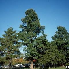 Plant form: Ulmus procera. ~ By Richard Webb. ~ Copyright © 2020 CC BY-NC 3.0. ~  ~ Bugwood - www.bugwood.org/