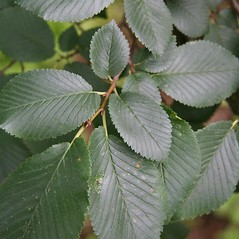 Leaves: Ulmus procera. ~ By Robert Vid_ki. ~ Copyright © 2021 CC BY-NC 3.0. ~  ~ Bugwood - www.bugwood.org/