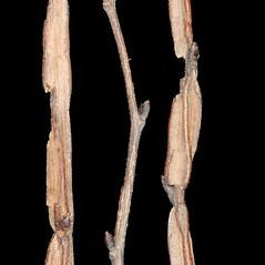 Winter buds: Ulmus procera. ~ By Robert Vid_ki. ~ Copyright © 2020 CC BY-NC 3.0. ~  ~ Bugwood - www.bugwood.org/