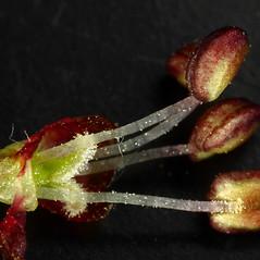 Flowers: Ulmus pumila. ~ By Dale A. Zimmerman Herbarium - Western New Mexico University. ~ Copyright © 2021 Dale A. Zimmerman Herbarium - Western New Mexico University. ~ Dale A. Zimmerman Herbarium - Western New Mexico University ~ Dale A. Zimmerman Herbarium - Western New Mexico U.