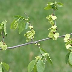 Fruits: Ulmus pumila. ~ By Arieh Tal. ~ Copyright © 2020 Arieh Tal. ~ http://botphoto.com/ ~ Arieh Tal - botphoto.com