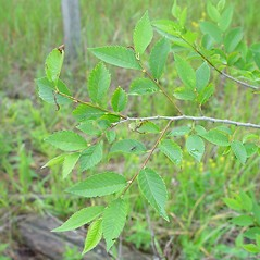 Leaves: Ulmus pumila. ~ By Arthur Haines. ~ Copyright © 2020. ~ arthurhaines[at]wildblue.net