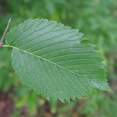 Leaves: Ulmus rubra. ~ By Arthur Haines. ~ Copyright © 2020. ~ arthurhaines[at]wildblue.net