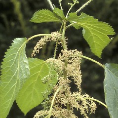 Plant form: Laportea canadensis. ~ By Albert Bussewitz. ~ Copyright © 2020 New England Wild Flower Society. ~ Image Request, images[at]newenglandwild.org