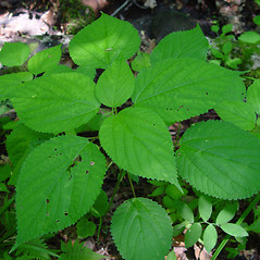 Leaves: Laportea canadensis. ~ By Arthur Haines. ~ Copyright © 2020. ~ arthurhaines[at]wildblue.net