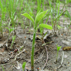Stems: Laportea canadensis. ~ By Arthur Haines. ~ Copyright © 2020. ~ arthurhaines[at]wildblue.net