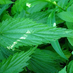Leaves: Urtica dioica. ~ By Glen Mittelhauser. ~ Copyright © 2021 Glen Mittelhauser. ~ www.mainenaturalhistory.org
