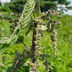 Flowers: Urtica dioica. ~ By Glen Mittelhauser. ~ Copyright © 2020 Glen Mittelhauser. ~ www.mainenaturalhistory.org
