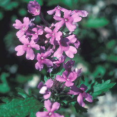 Flowers: Glandularia canadensis. ~ By John Lynch. ~ Copyright © 2020 New England Wild Flower Society. ~ Image Request, images[at]newenglandwild.org