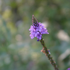 Flowers: Verbena hastata. ~ By Donald Cameron. ~ Copyright © 2021 Donald Cameron. ~ No permission needed for non-commercial uses, with proper credit