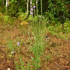 Plant form: Verbena stricta. ~ By Steve Garske. ~ Copyright © 2021 Steve Garske. ~ asimina[at]alphacomm.net